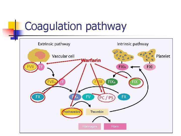 Coagulation pathway Warfarin