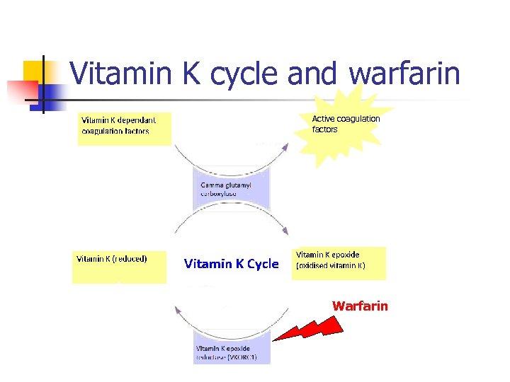 Vitamin K cycle and warfarin Active coagulation factors Warfarin