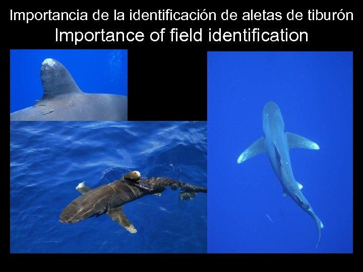 Importancia de la identificación de aletas de tiburón Importance of field identification