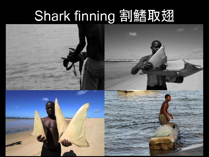 Shark finning 割鰭取翅