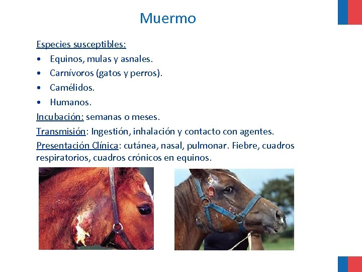 Muermo Especies susceptibles: • Equinos, mulas y asnales. • Carnívoros (gatos y perros). •
