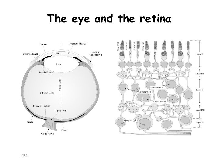 The eye and the retina 782