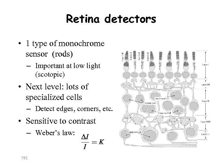 Retina detectors • 1 type of monochrome sensor (rods) – Important at low light