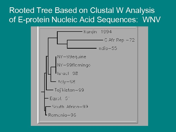 Rooted Tree Based on Clustal W Analysis of E-protein Nucleic Acid Sequences: WNV