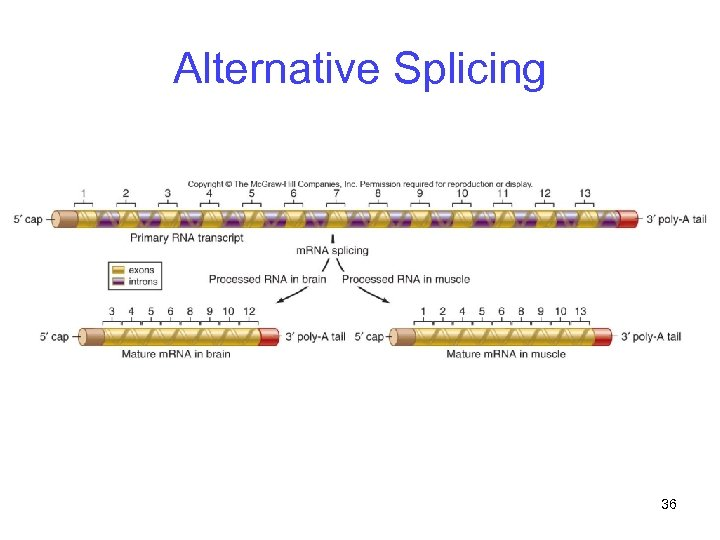 Alternative Splicing 36