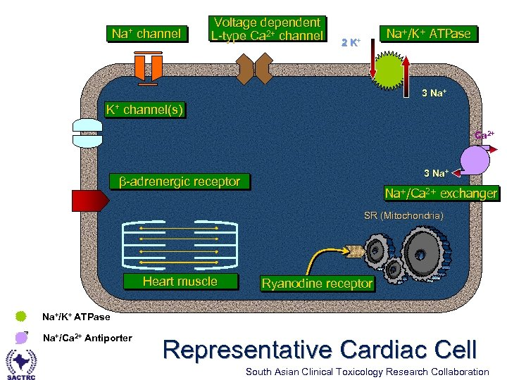 Na+ channel Voltage dependent L-type Ca 2+ channel L-type Na+/K+ ATPase 2 K+ 3
