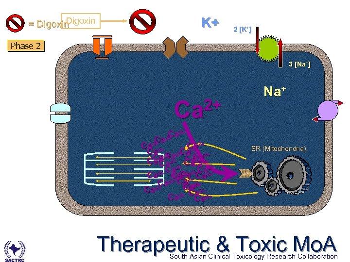Digoxin = Digoxin K+ 2 [K+] Phase 2 3 [Na+] 2+ Ca Ca 2+2+