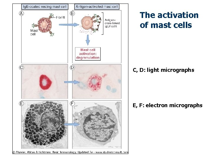 The activation of mast cells C, D: light micrographs E, F: electron micrographs