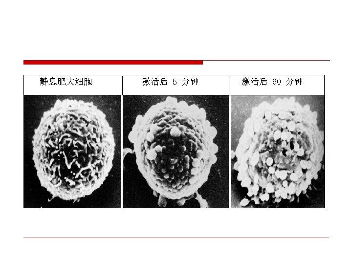 静息肥大细胞 激活后 5 分钟 激活后 60 分钟