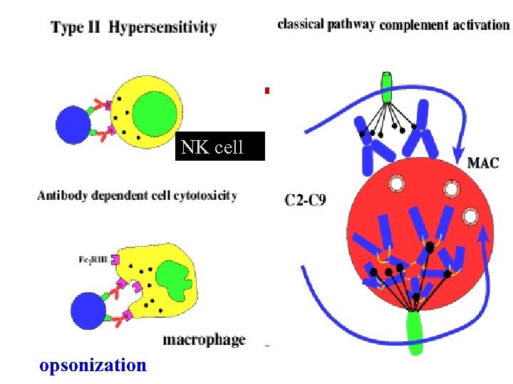 NK cell opsonization