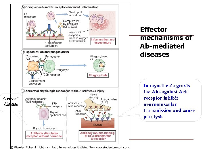 Effector mechanisms of Ab-mediated diseases Graves' disease In myasthenia gravis the Abs against Ach
