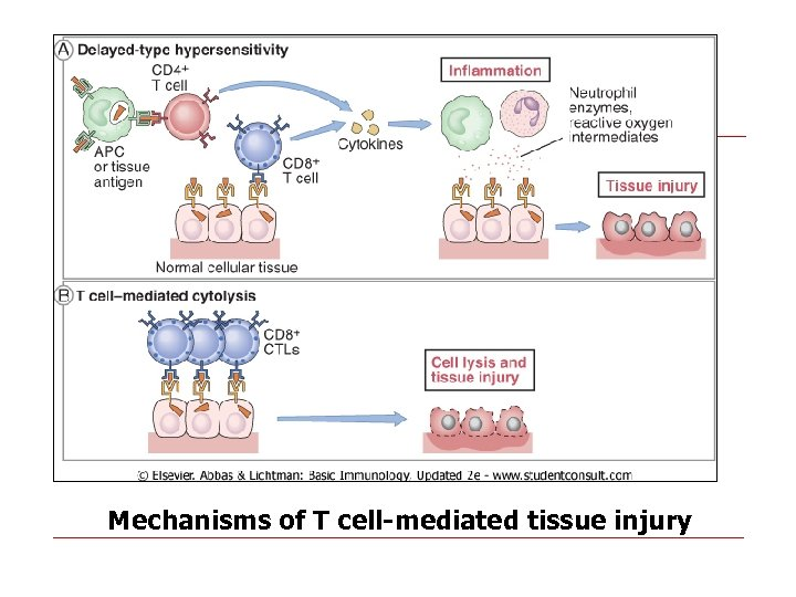 Mechanisms of T cell-mediated tissue injury