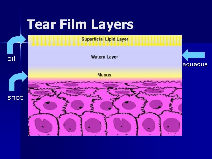 Tear Film Layers oil snot aqueous