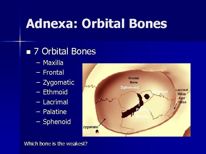 Adnexa: Orbital Bones n 7 Orbital Bones – – – – Maxilla Frontal Zygomatic