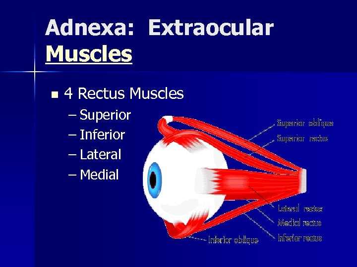 Adnexa: Extraocular Muscles n 4 Rectus Muscles – Superior – Inferior – Lateral –