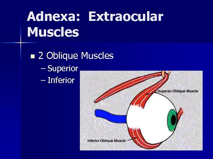Adnexa: Extraocular Muscles n 2 Oblique Muscles – Superior – Inferior