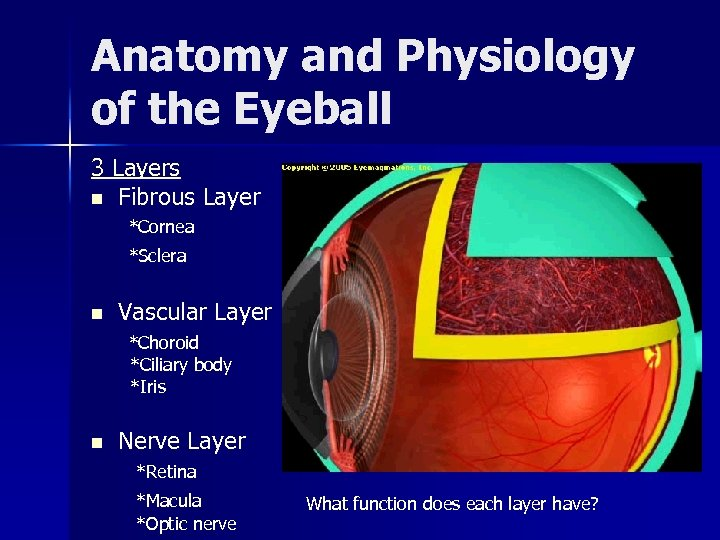 Anatomy and Physiology of the Eyeball 3 Layers n Fibrous Layer *Cornea *Sclera n