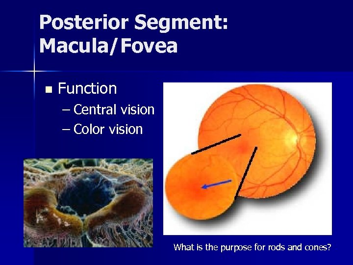 Posterior Segment: Macula/Fovea n Function – Central vision – Color vision What is the