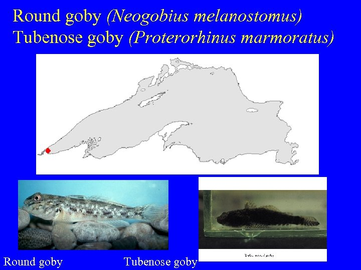 Round goby (Neogobius melanostomus) Tubenose goby (Proterorhinus marmoratus) Round goby Tubenose goby