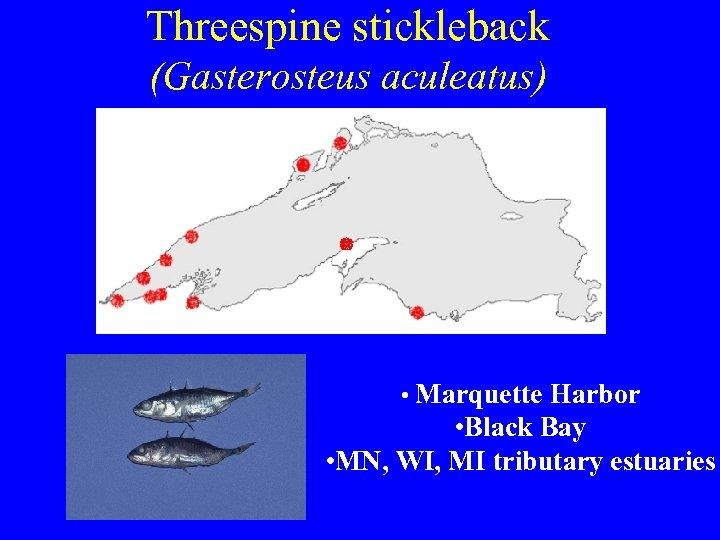 Threespine stickleback (Gasterosteus aculeatus) • Marquette Harbor • Black Bay • MN, WI, MI