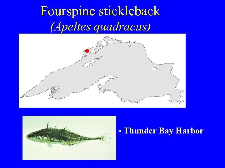 Fourspine stickleback (Apeltes quadracus) • Thunder Bay Harbor