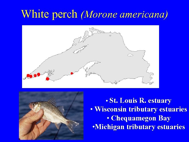 White perch (Morone americana) • St. Louis R. estuary • Wisconsin tributary estuaries •