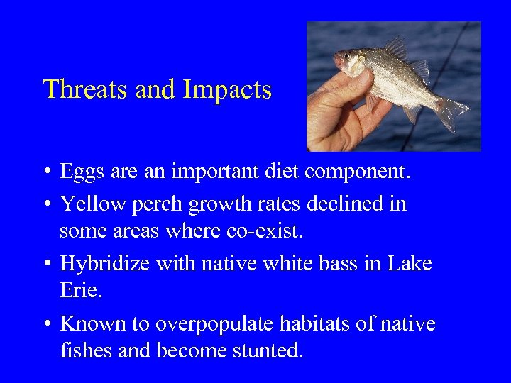 Threats and Impacts • Eggs are an important diet component. • Yellow perch growth