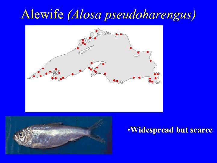 Alewife (Alosa pseudoharengus) • Widespread but scarce