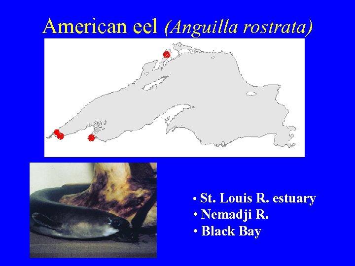 American eel (Anguilla rostrata) • St. Louis R. estuary • Nemadji R. • Black