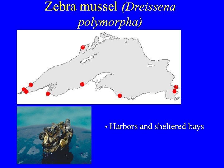 Zebra mussel (Dreissena polymorpha) • Harbors and sheltered bays