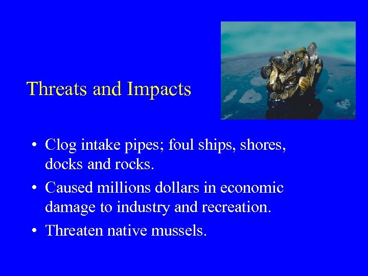 Threats and Impacts • Clog intake pipes; foul ships, shores, docks and rocks. •