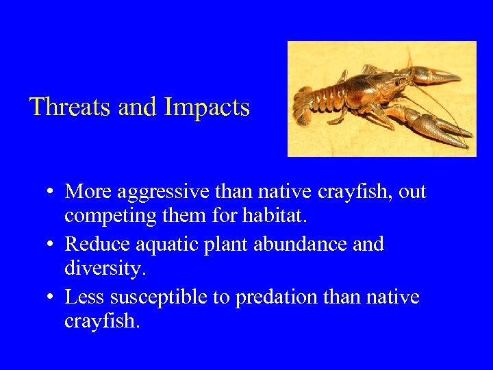 Threats and Impacts • More aggressive than native crayfish, out competing them for habitat.