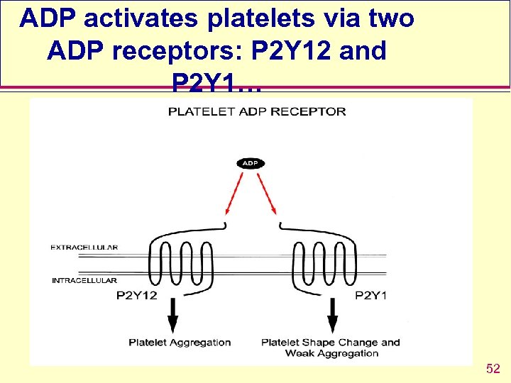 ADP activates platelets via two ADP receptors: P 2 Y 12 and P 2