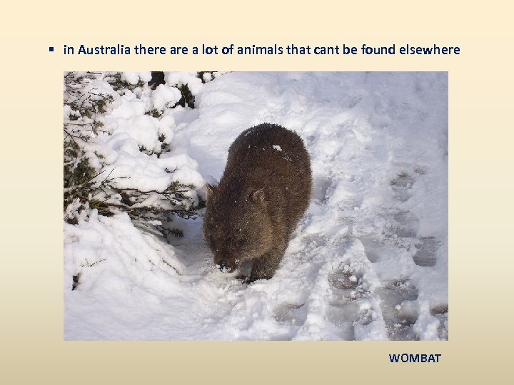§ in Australia there a lot of animals that cant be found elsewhere WOMBAT
