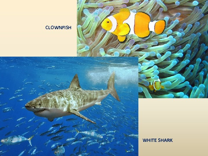 CLOWNFISH WHITE SHARK
