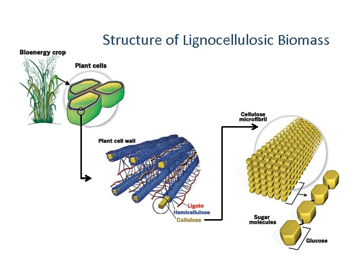 Structure of Lignocellulosic Biomass