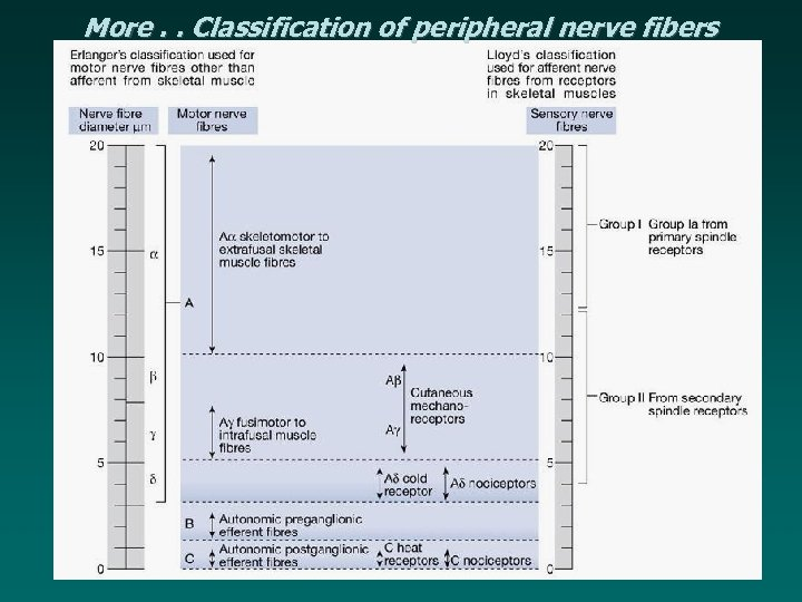 More. . Classification of peripheral nerve fibers