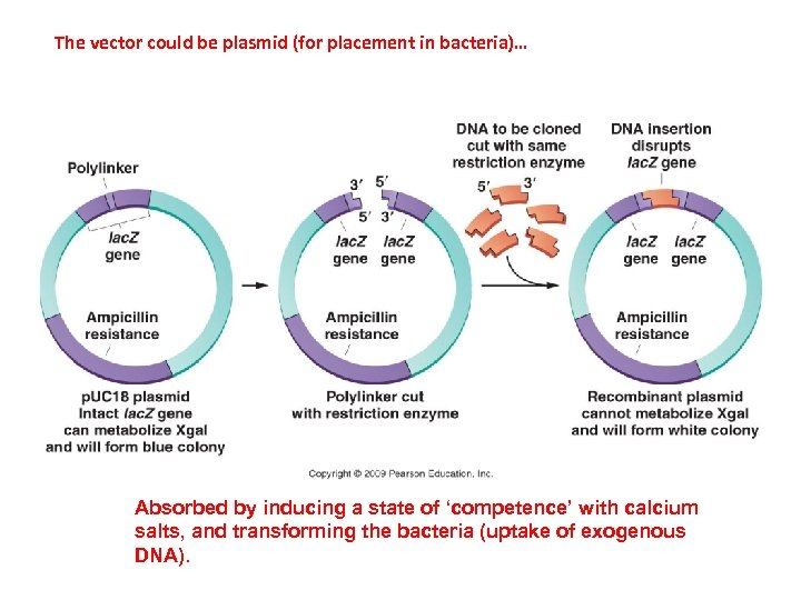 The vector could be plasmid (for placement in bacteria)… Absorbed by inducing a state