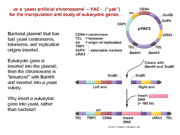"""…or a 'yeast artificial chromosome' – YAC - (""""yak"""") for the manipulation and study"""