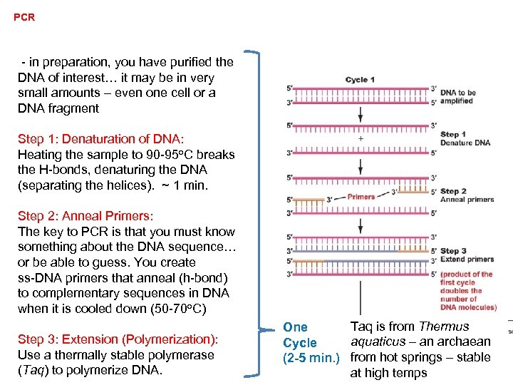 PCR - in preparation, you have purified the DNA of interest… it may be