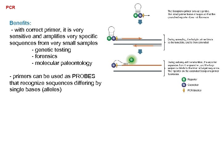 PCR Benefits: - with correct primer, it is very sensitive and amplifies very specific