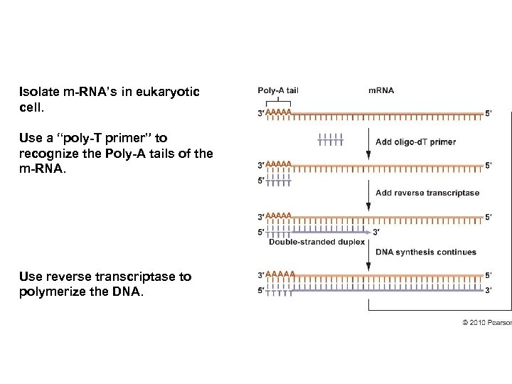 """Isolate m-RNA's in eukaryotic cell. Use a """"poly-T primer"""" to recognize the Poly-A tails"""