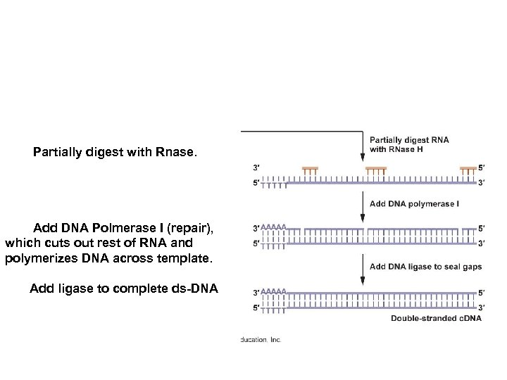 Partially digest with Rnase. Add DNA Polmerase I (repair), which cuts out rest of