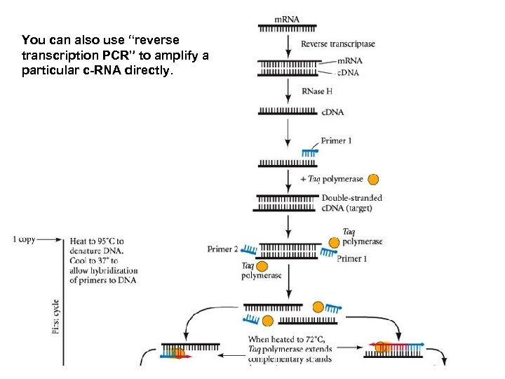 """You can also use """"reverse transcription PCR"""" to amplify a particular c-RNA directly."""