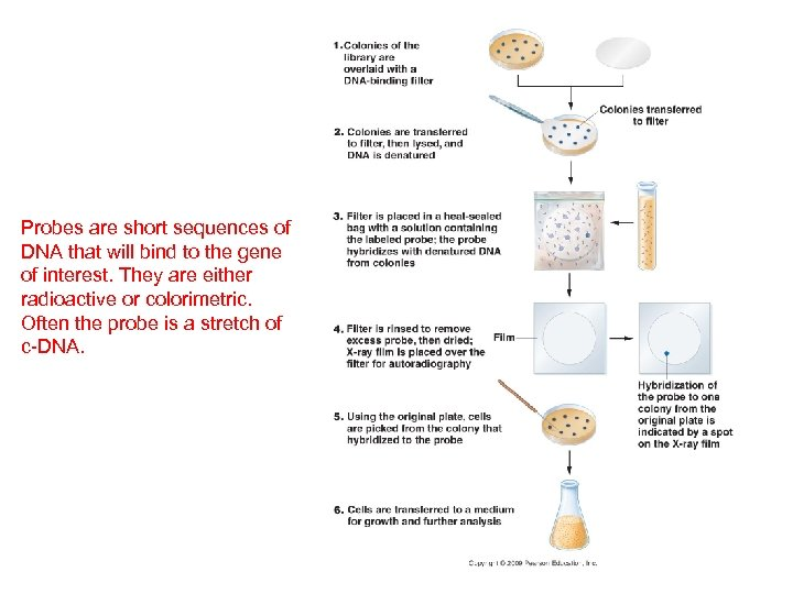 Probes are short sequences of DNA that will bind to the gene of interest.