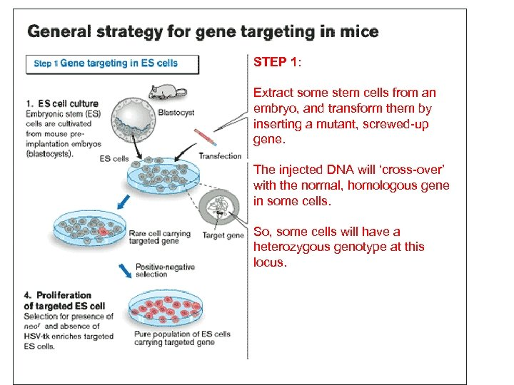 STEP 1: Extract some stem cells from an embryo, and transform them by inserting