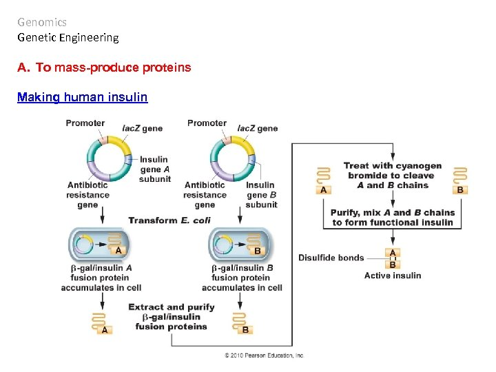 Genomics Genetic Engineering A. To mass-produce proteins Making human insulin