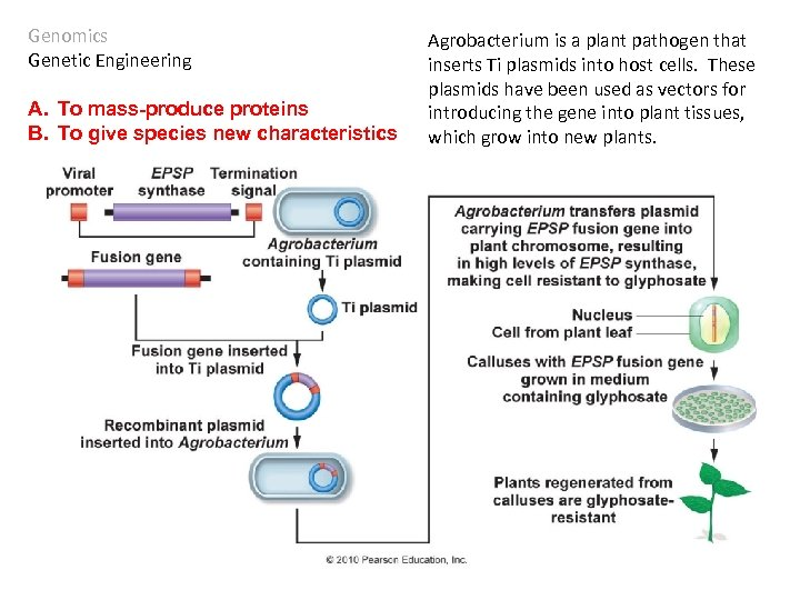 Genomics Genetic Engineering A. To mass-produce proteins B. To give species new characteristics Agrobacterium