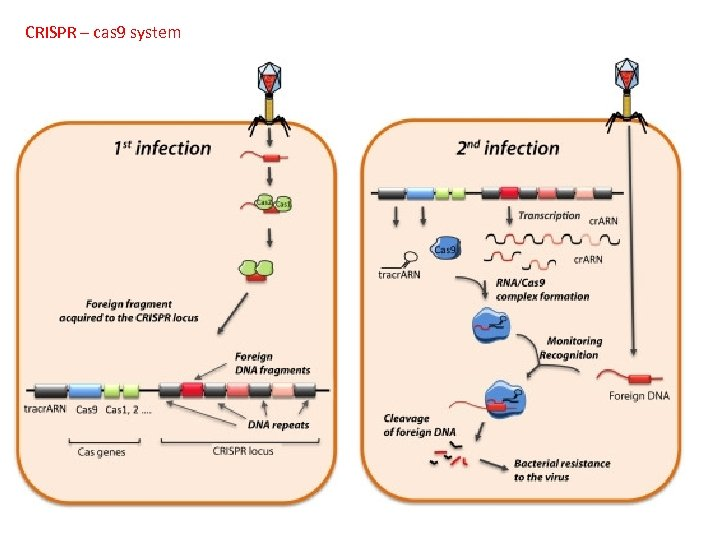 CRISPR – cas 9 system A. B. C. D. To mass-produce proteins To give