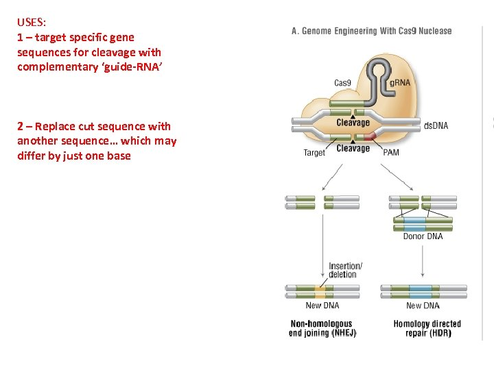 USES: 1 – target specific gene sequences for cleavage with complementary 'guide-RNA' 2 –